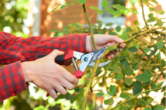 A pruning tool used to chop branches off a tree with gardener using a steady grip.