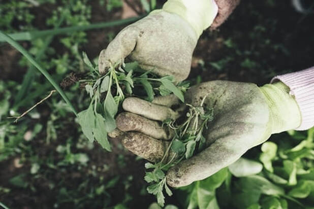 A gardener wearing gloves has their hands open with weeds in his hands after weeding the garden.