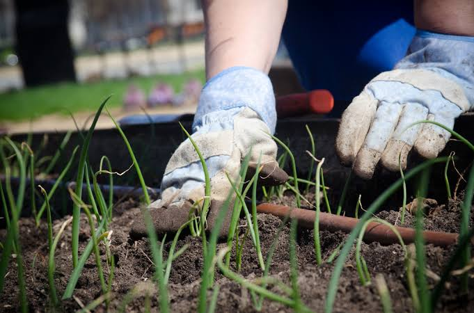 A gardener rubbing the soil with the plants whilst using gloves in the Melton area.